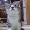 キジトラ×白 子猫 ♀  里親さん募集
