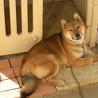 柴犬♂(ちょっとサイズ大きめ)