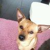 チワワ×ミニピンのMIX犬です