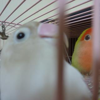 子桜インコとボタンインコのペア