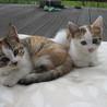 三毛(雑種)子ネコ 2匹 里親決まりました!ありがとうございました。