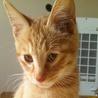 オレンジ毛の甘えん坊な子猫の家族になってください