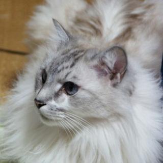 大至急!飼い主が死亡した老猫を助けてください
