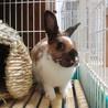 保護うさぎ:ミニウサギ(白・オレンジ・茶)