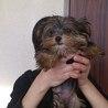 ヨーキー犬とマルキー犬の子犬です。