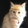 美猫です。ふわふわ茶トラの子猫