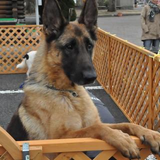 被災犬 大人しいシェパード・室内限定・愛玩犬