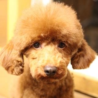 人にも犬にもフレンドリーなMプードルの ポール君/推定2~3歳