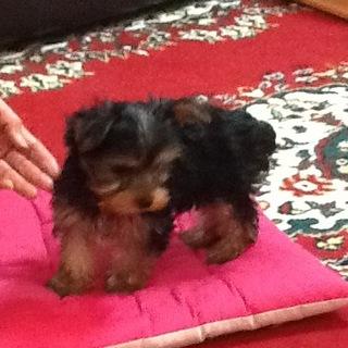 1月11日産まれのヨーキーの子犬です