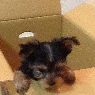 1月11日産まれのヨーキー、可愛い子犬