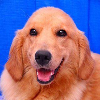 3歳の女の子~繁殖引退犬~