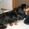 ミニチュアダックスの成犬