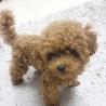 トイプー仔犬♀三か月。