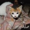 可愛い仔猫の里親さんになってください。