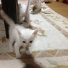 白の子猫再募集です。