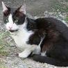 【岡山】 若いオス成猫・白黒ぶち・人好き!