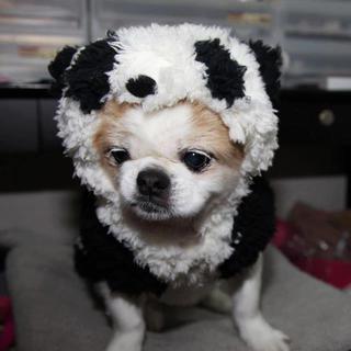 チワニーズ(ペキニーズxチワワ)メス 美犬