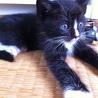 ラグドールMIXの子猫です!