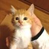 茶トラ猫 子猫 生後1ヶ月半
