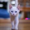 真っ白ブルーアイの子猫