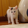 三毛猫の子猫☆里親☆決定しました。