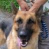 震災被災犬・吠え少・・訓練バッチリ・最高の伴侶犬シェパード・室内限定・愛玩犬