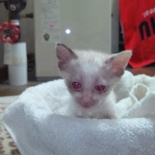 白い子猫@急募です。