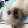 青い目ふわもふ MIX猫