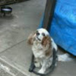 シニア犬キャバリアを家族として迎えて下さる方募集中