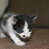 ウシ柄の子猫(オス、4週未満)
