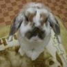 ウサギ(ロップイヤー)譲ります
