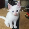 白い子猫よろしくお願いします。