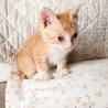 生後1ヶ月以内の子猫の里親を募集します