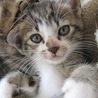 白たびをはいた1.5ヶ月子猫