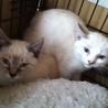シャム猫MIX子猫4か月