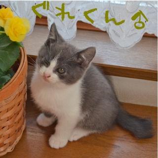 ツートン子猫2ヶ月弱の家族募集。
