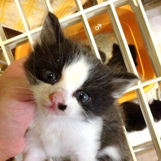 黒白猫 兄弟 長毛 生後1ヶ月未満
