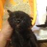 黒猫 長毛 男の子 生後1ヶ月未満