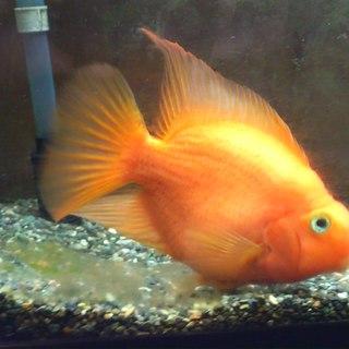 熱帯魚「パロット」一匹、里親さん募集中!