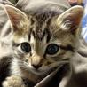 生後2ヶ月弱の女の子・しましまの子猫です。