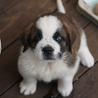 セント・バーナードの子犬さしあげます 里親決まりました