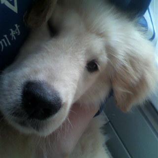 ゴールデン子犬