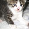 可愛いキジ白の子猫たちの里親さんを募集します