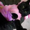 おもちゃ大好きの甘えん坊 まんまるちびくろ猫