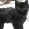 【里親さん決定!】 生後2~3週間・メスの黒猫(長毛)