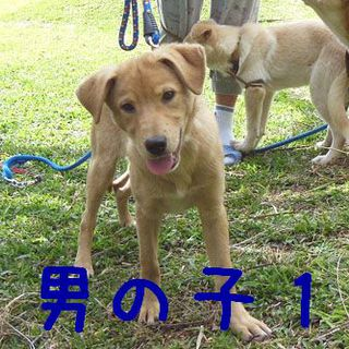 4か月の茶系子犬