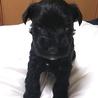 優しい性格の黒シュナ子犬、男の子です(●^o^●)