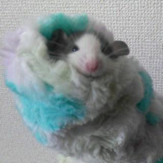 12/22生まれ☆9匹の可愛いファンシーラット♪
