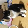 タキシードキャットの子猫です