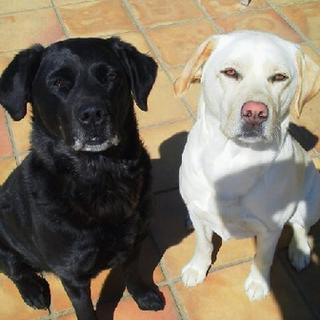 黒(メス/母)と白(メス/娘)のラブラドールです